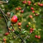 drzewa-owocowe-w-ogrodzie