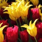 jesienne-sadzenie-tulipanow